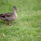 What are some adaptations of a duck?