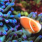 What Behavioral Adaptations Does a Clown Fish Go Through?