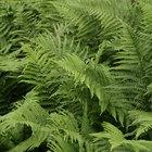 Lista de plantas vasculares sin semilla