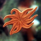 The Function or Purpose of a Starfish's Arm