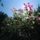 Como transplantar uma roseira