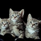 The Recovery of Spayed Kittens