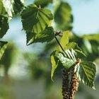 When do birch trees bloom?