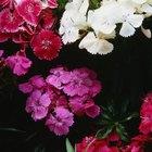 Tiempos de floración para variedades de claveles