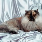 Himalayan Cat's Lifespan