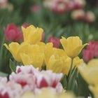 Cómo germinar tulipanes