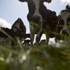 ¿Por qué todas las vacas miran hacia la misma dirección cuando comen?