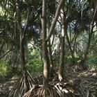 ¿Qué son las raíces fibrosas?