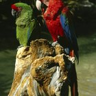Can Different Species of Parrots Be in the Same Cage?