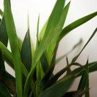 Cómo cuidar la exótica y duradera planta de interior dracaena