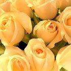 Cuál es el significado de los colores de las rosas y de la cantidad que se obsequia