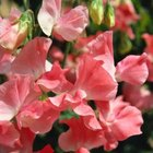 Sweet peas are colorful, fragrant and a perfect trellis climber.