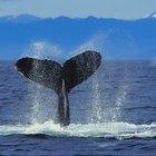 Quais são as causas para baleias estarem ameaçadas de extinção