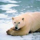 Cómo se adapta el oso polar al clima
