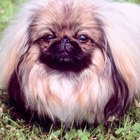 Kinds of Pekingese