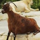 Cómo cuidar cabras nubias