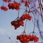 How to pollard a cherry tree