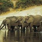 Hábitos migratorios de los elefantes africanos