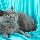 bow tie collar cat