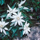 How to grow edelweiss
