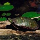 Como checar a pulsação de uma tartaruga