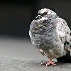 Cómo quitar los excrementos de ave