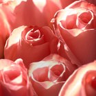 The meaning of 11 roses