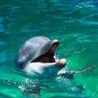 ¿De qué tamaño es un delfín bebé?