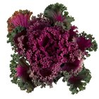 How to prune ornamental cabbage