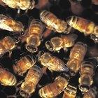 Cómo identificar la abeja reina