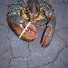 Como tirar o intestino e limpar lagosta