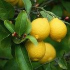Cómo cubrir un limonero para evitar que se congele
