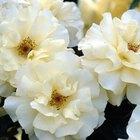 Excesso de rega em roseiras e folhas amarelas