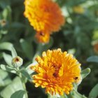 Crushed marigolds can repel rodents.