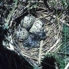 Como fazer ninhos para patos