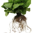 Can I Use Miracle-Gro in Hydroponics?