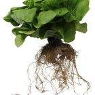 Los efectos del bicarbonato de sodio sobre el crecimiento de la planta hidropónica