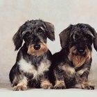 Información sobre la raza dachshund pelo de alambre