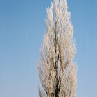 Cómo cultivar árboles de álamo a partir de esquejes enraizados