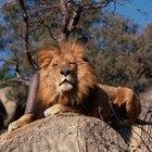 Como pintar pelo de leão