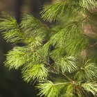 Evergreen tree facts for kids
