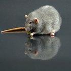 Como fazer uma ratoeira adesiva