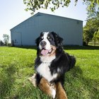 Controlling the Shedding of a Bernese Mountain Dog