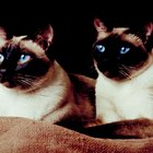 Number of Recognized Colors and Patterns of Siamese Cats