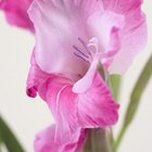 Gladiolus flowers come in many color varieties.