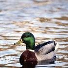 Tipos de patos que hay en los estanques