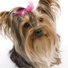 What Would Make a Yorkie Shed Its Fur?