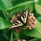 Cómo saber el género de una mariposa