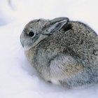 Quais são os hábitos de sono dos coelhos?