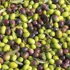 Como plantar oliveiras a partir de sementes